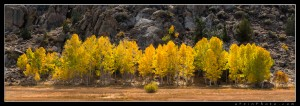 Backlit aspens along a stretch of road in the Eastern Sierra