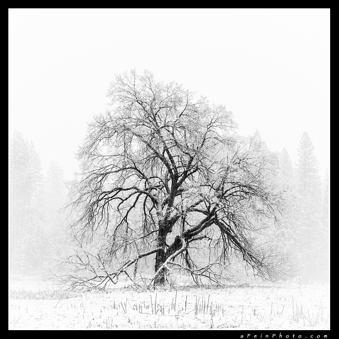 Old Oak in snow in Yosemite National Park