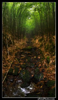 A dry stream runs through a bamboo forest in the Kohala Mountains of the Big Island.