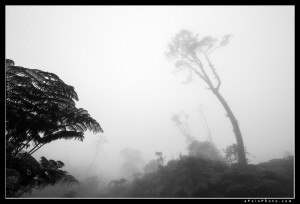Foggy trees in the Kohala Mountains