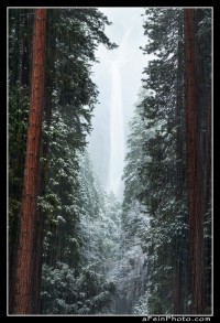Lower Yosemite Falls as seen through a hallway of redwoods in heavy snow