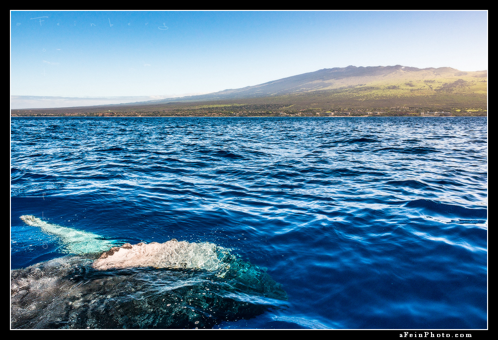 A humpback whale shows its belly off the Kihei coast of Maui. Haleakala can be seen in the background