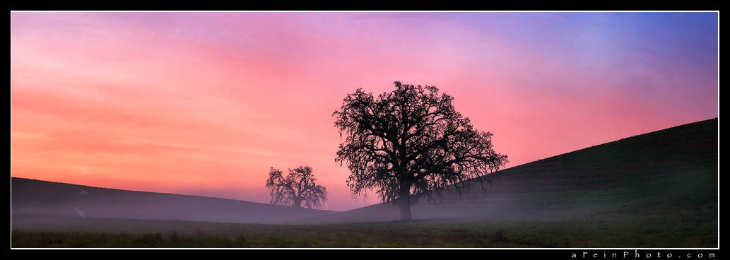 Incredible vibrant sunrise over 2 lone oak trees in fog.