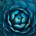 Blue Agave print