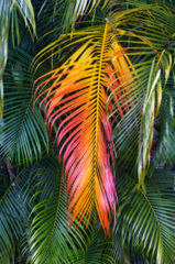feinberg,kauai,leaf,palm,vertical, autumn, color