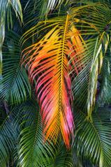 feinberg,kauai,leaf,palm,vertical, autumn, color