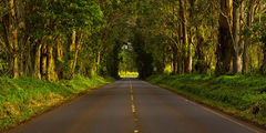 feinberg,kauai,panorama,poipu,tree tunnel