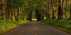 Tree Tunnel I