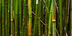 bamboo,feinberg,green,maui,panorama, kipahulu, seven, sacred, pools,