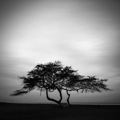 big island,black and white,feinberg,silhouette,square,tree