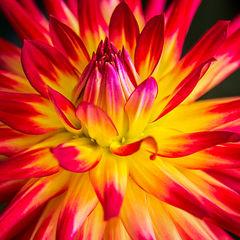 feinberg, floral, dahlia, flower, square