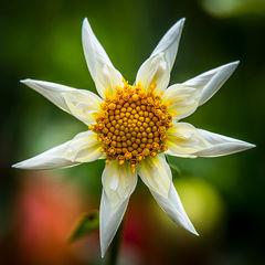 feinberg, floral, dahlia, square, flower,