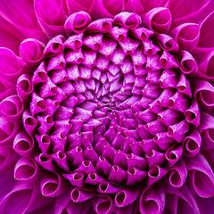 feinberg, floral, flower, square, dahlia,