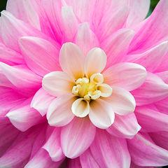 feinberg, flower, floral, dahlia, square