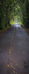 feinberg, panorama, vertical, poipu, tree, tunnel, iconic, road, green