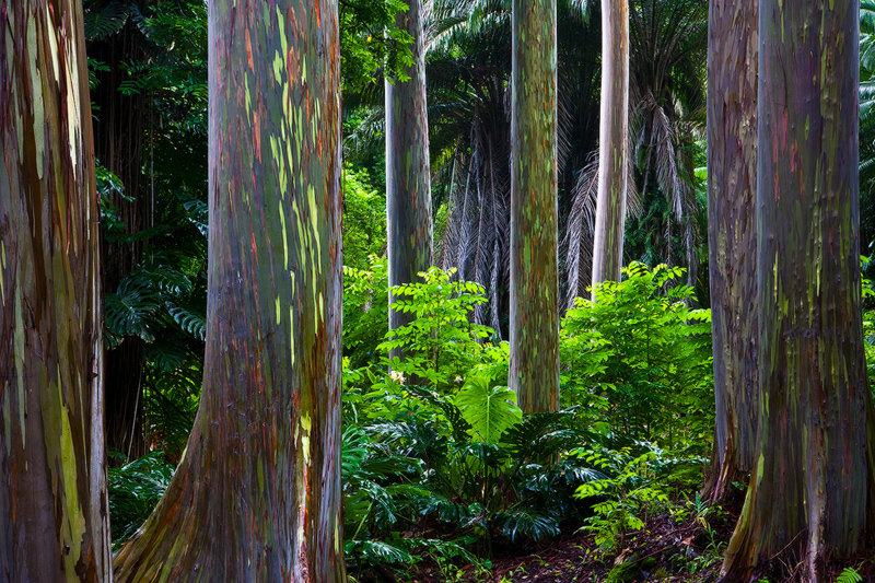 A surreal grove of Rainbow Eucalyptus trees glowing after morning rains. As the bark peels the trunks change color, nature doing...