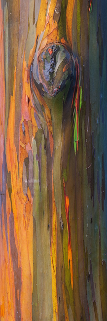 feinberg,painted trees,panorama,rainbow,rainbow eucalyptus,tree,vertical, photo