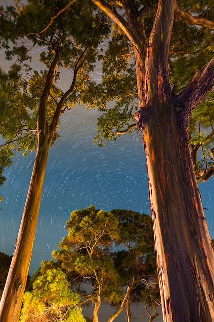 feinberg,night,princeville,rainbow eucalyptus,star trails,vertical, photo