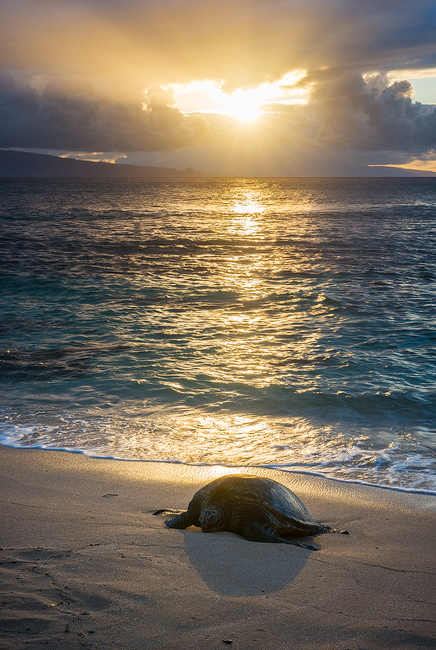 This tends to be a popular spot for these endangered Hawaiian Green Sea Turtles and this day was no exception. As I careful maneuvered...