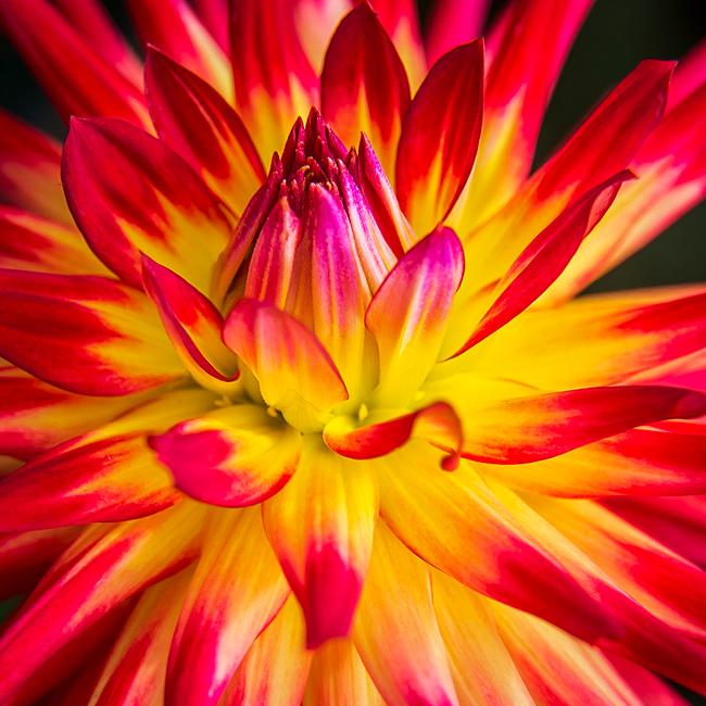 feinberg, floral, dahlia, flower, square, photo