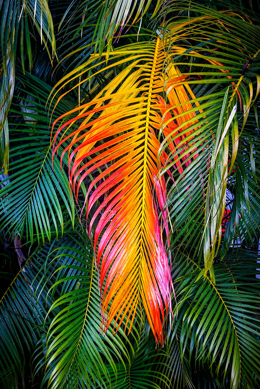 feinberg,kauai,leaf,palm,vertical, autumn, color, photo