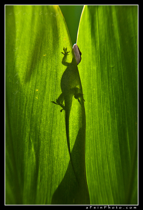 Aaron Feinberg, kauai, vertical, leaf, green, gecko, anole, wildlife, photo