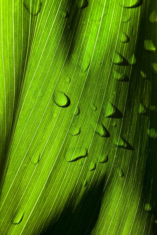 An optical illusion as the drops were on the other side of the leaf.  The backlighting by the sun gives the 3D relief seen here...
